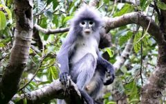 Newly Discovered Primate Species Labeled Critically Endangered: With Only 260 Left