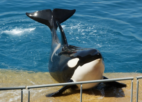 Sea World Finally Ceases Orca Shows Throughout Multiple Warnings